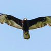 Zone-tailed Hawk (Buteo albonotatus)
