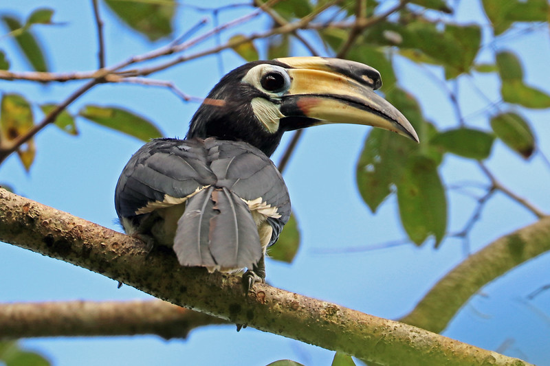 Hornbills like this Oriental Pied are important dispersers of the seeds of the fruits they consume. Photo by participant Greg Griffith.