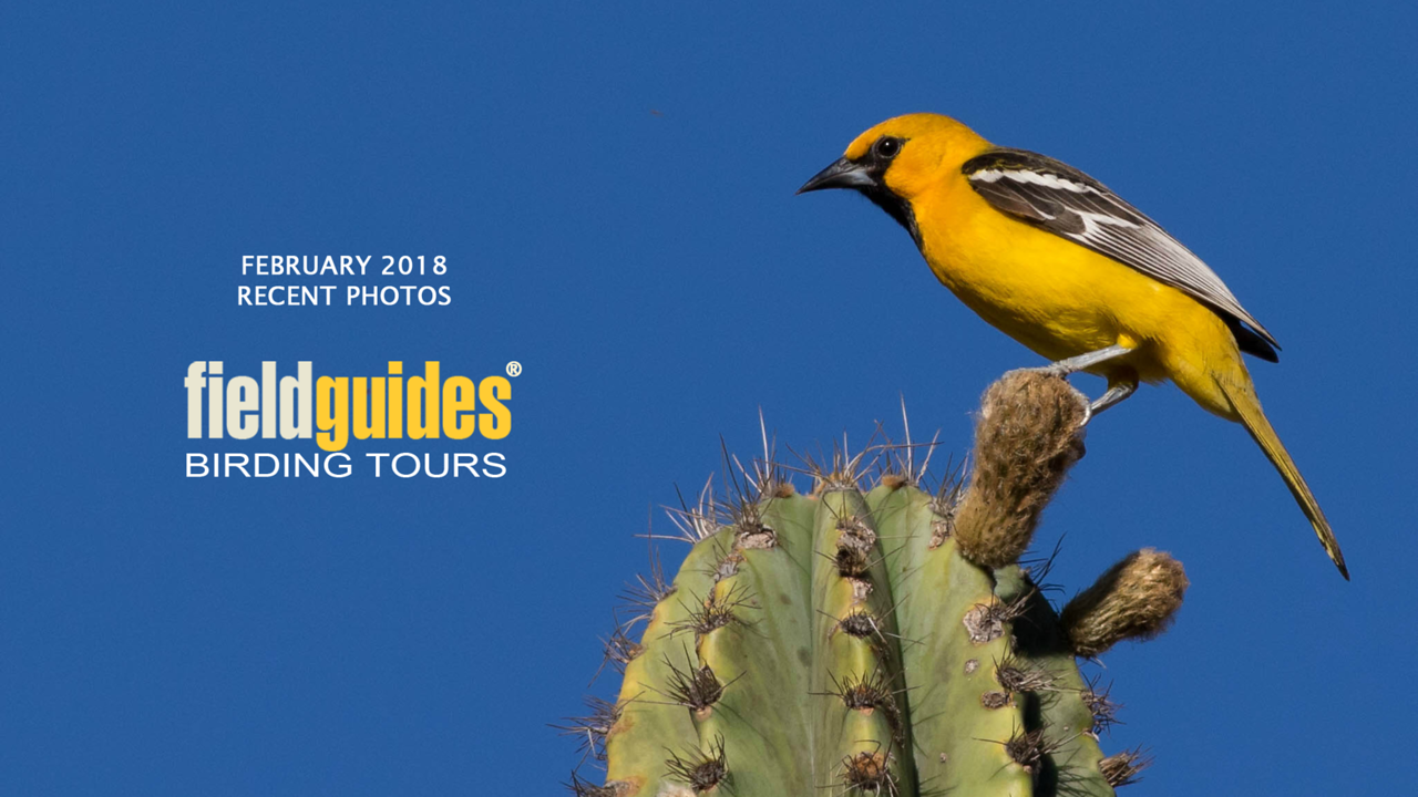 Our February Recent Photos Gallery begins with this lovely Streak-backed Oriole by guide Doug Gochfeld from our Oaxaca tour over the holidays. This month we're sharing images from tours to Costa Rica, Panama, Colombia, Trinidad & Tobago, Guyana, Ecuador, New Guinea & Australia, and Vietnam. Enjoy.