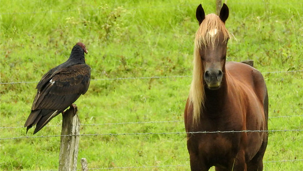 """What did the Turkey Vulture say to the horse?"" Photo by participant Max Rodel."