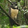 Spectacular and unmistakeable: Spectacled Owl, by participants Andrew & Rebecca Steinmann.