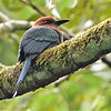 From this angle, it is easy to see how Broad-billed Motmot got its name. Photo by participant Doug Clarke.