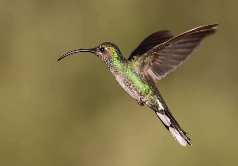 The large size, decurved bill, and big white tail tips make this a female Violet Sabrewing. Photo by participant Mark Schocken.