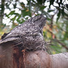 We were delighted when a local birder pointed out this Tawny Frogmouth on its nest in Royal National Park. Photo by guide Jay VanderGaast.
