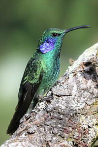 This crisp photo of a Lesser Violetear (formerly part of Green Violetear) also came from participant Mark Schocken.