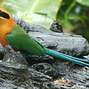 Staying in Panama, here's a collection of images from our Panama's Canopy Lodge tour. Pumpkin might be a better descriptor for Rufous Motmot. Photo shared by participants Andrew & Rebecca Steinmann.