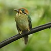 We were pleased to have such a great look at a diminutive Tody Motmot. Photo by participants Andrew & Rebecca Steinmann.