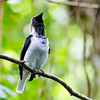Bearded Bellbird is an iconic species of Trinidad, and a male's powerful vocalizations can be heard at a huge distance. Photo by participant Tony Quezon.