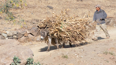 Those stalks aren't walking themselves; there is a burro under there. Photo by guide Doug Gochfeld.