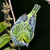 Here is a marvelous Speckled Tanager from participant Mark Schocken.