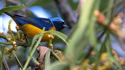 There are blues, and then there is the cap on an Elegant Euphonia! Photo by guide Doug Gochfeld.