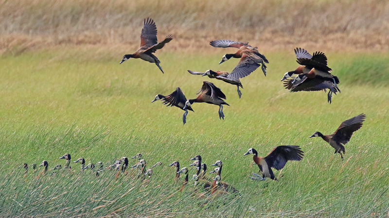 Participant Steve Rannels captured this tableau of White-faced Whistling-Ducks in a Guyana marsh perfectly.