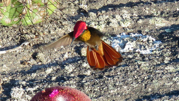 We caught up to a number of gorgeous male Ruby-topaz Hummingbirds on this tour. Photo by participant Merrill Lester.