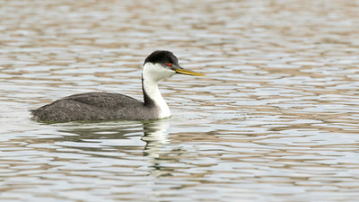 We enjoyed a tremendous study of Western Grebe versus Clark's Grebe.This image by guide Doug Gochfeld shows the dull, greenish-yellow bill color, dark cap incorporating the eye, and darker flanks of a Western Grebe compared to...
