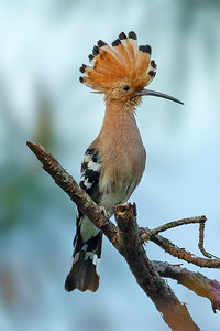 Eurasian Hoopoe has to be one of the most recognizable species on the planet. Photo by participant Benedict de Laender.