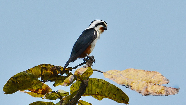 The diminutive Collared Falconet primarily preys upon aerial insects like dragonflies. Photo by participant Bob Sprague.