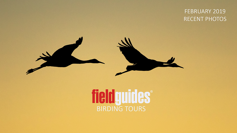 Sandhill Cranes at sunset kick off our February Recent Photos Gallery. Guide Cory Gregory captured these artistic silhouettes during the inaugural departure of our New Mexico: Birding the Land of Enchantment tour. Other tours we're highlighting in this month's slideshow include: Thailand, Nowhere but Northeast Brazil, Amazonian Ecuador: Sacha Lodge, three different departures to Costa Rica, Holiday in Honduras, South Texas Rarities, Jewels of Ecuador and two departures to Guyana!