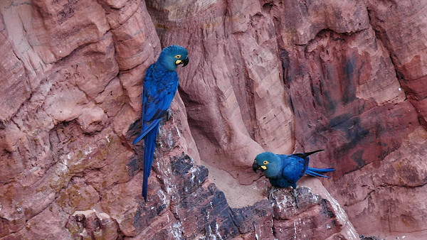Next up are images from our Nowhere but Northeast Brazil tour. The beautiful red-rock canyon that is Raso da Catarina is the principal breeding site for the endangered Indigo (or Lear's) Macaw. Photo by guide Bret Whitney.