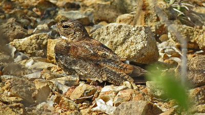 Camouflage is the name of the game if you are going to roost in the open like this Least Nighthawk. Photo by participant Merrill Lester.