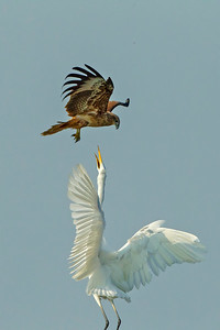 This Brahminy Kite got a little too close for comfort for this Great Egret. Participant Benedict de Laender shared this dramatic scene.