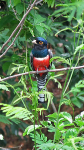One of the nice things about trogons, like this Blue-crowned, is they hold a perch for a long time. If you can spot them, you usually get to enjoy a prolonged view. Photo by participant Merrill Lester.