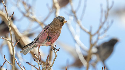 The New Mexico tour provides ample opportunities for some fun, comparative studies. The Brown-capped Rosy-Finch is the pinkest of the rosy-finches compared to...