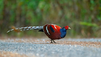 We were thrilled to see this stunning Hume's Pheasant out in the open. Photo by participant Benedict de Laender.