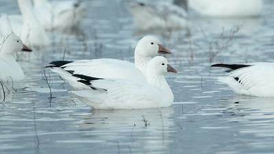 "In this comparison a smaller and stubbier-billed Ross's Goose is superimposed in front of a larger and heavier-billed Snow Goose. The reduced or absent ""grin patch"" on the bill and the more rounded crown of the Ross's Goose are evident as well in this photo by guide Cory Gregory."