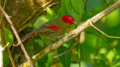 Seeing a Scarlet-faced Liocichla (confined to SE Asia and southern China) this well was a real treat. Photo by participant Benedict de Laender.
