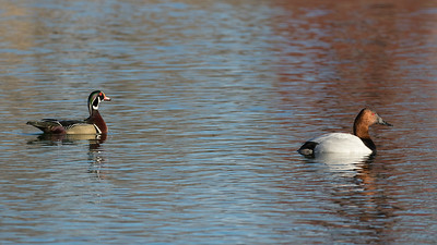 A drake Wood Duck and a drake Canvasback square off in the the final round of North America's most handsome duck pageant. Photo by guide Doug Gochfeld.