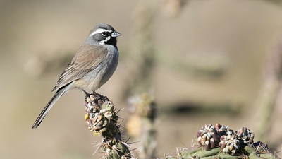 Black-throated Sparrows are migratory in the northern part of their range but tend to be resident in the southern part. Photo by guide Doug Gochfeld.