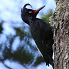 Always hoped for and an easy one when it comes to generating lots of excitement among our birders: the fantastic Magellanic Woodpecker, here a female. (Photo by guide Chris Benesh)