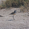 A dainty Madagascar Plover at Ifaty, photographed by guide Phil Gregory