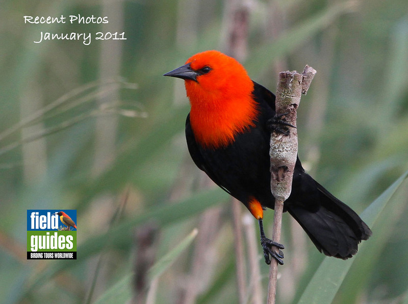 This month's recent photos gallery covers ten of our recent tours, and we begin in southern South America, Southern Argentina to be exact, with quite an eyeful: a stunning Scarlet-headed Blackbird photographed by guide Chris Benesh, who co-led the tour with George Armistead.