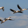 Here's John's lovely shot of some Great White Pelicans.
