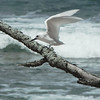 Our optional extension from Madagascar to the Seychelles Islands offers great opportunities for more endemic landbirds and numerous beautiful seabirds. Here an ethereal White Tern alights on a piece of drift wood on Cousin Island. These terns are a common sight throughout the islands. (Photo by guide Jay VanderGaast)