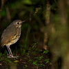 Several hard-to-see species put on a fine show for our group this trip, including this Speckle-breasted Antpitta...