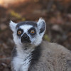 Madagascar is of course famed, too, for its endemic lemurs, always a feature alongside the numerous endemic birds. Here's a Ring-tailed Lemur at Berenty...