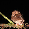 The mega-highlight, of course, was great views of the formerly mythical Long-whiskered Owlet...what a treat! There are no future guarantees, of course, but this tiny owl, which has only recently been found to be regular at several sites, put on a fantastic show for our group of happy birders. (Photo by guide Richard Webster)