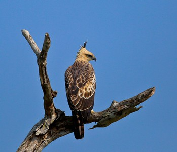 This is a young Crested Hawk-Eagle, we saw nearly daily. (Photo by participant Rick Woodruff)