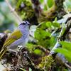 Black-striped Sparrow (Arremonops conirostris)