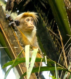 Toque Macaque, an endemic mammal (Photo by participant Rick Woodruff)