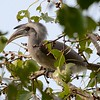 Participant Becky Hansen shared some fine photos with us after the tour, including this Indian Gray Hornbill. Quite the shaggy do!