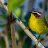 This Rufous-capped Warbler is one of the more striking understory species to be seen. (Photo by participant Tony Quezon)