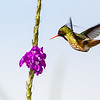 Black-crested Coquette (Lophornis helenae)