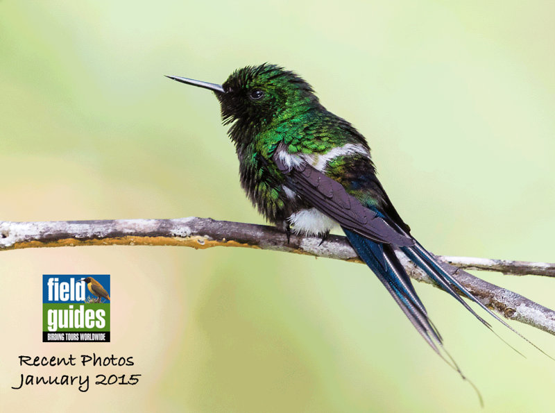 We recently wrapped up the last of three December tours to Costa Rica's Rancho Naturalista, so we may as well begin this month's gallery there! Here's a lovely male Green Thorntail in this photo by participant Tony Quezon.