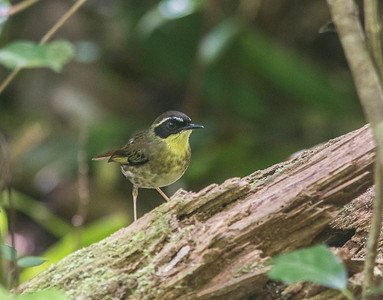 The avian family Acanthizidae, or Australasian warblers, includes some elegant little birds such as this Yellow-throated Scrubwren. (Photo by participant Conny Palm)