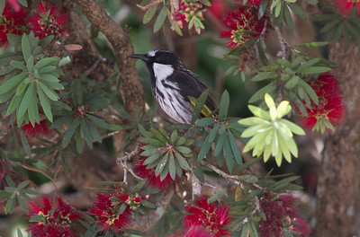 Fancy portrait of a snazzy bird: White-cheeked Honeyeater (Photo by participant Conny Palm)