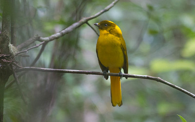 Stepping into just the right forested spot on the Atherton Tableland near Cairns we'll find this glowing creature: a male Golden Bowerbird.  (Photo by participant Conny Palm)
