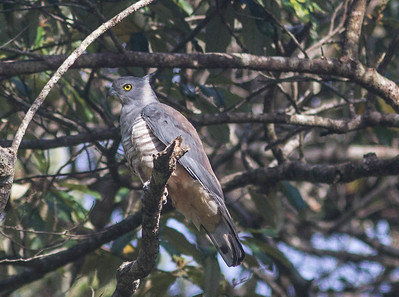 The crested and distinctive Pacific Baza makes its living hunting stick insects, frogs, and lizards, and even takes some fruit. (Photo by participant Conny Palm)
